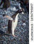 Small photo of Adelie penguin squawking on dark shingle beach
