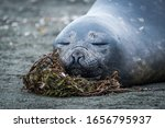 Close Up Of Elephant Seal...
