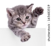 scottish kitten holding a... | Shutterstock . vector #165683519