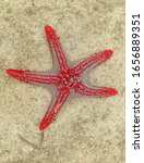 The Red Knob Sea Star Or The...