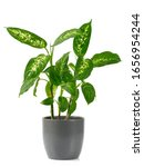 Small photo of dumb canes plant isolated on white