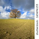 Old Oak Tree On Field In Autum...