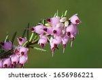 Winter Heath  Winter Flowering...