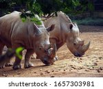 Javan Rhino  Or Small One...