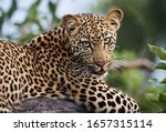 Leopard Cub Casually Waits In A ...