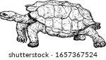 A Giant Galapagos Tortoise....
