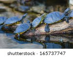Water Turtles In Row Marching...