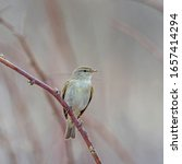 Small photo of Common Chiffchaff (Phylloscopus collybita) perched on a branch. The common chiffchaff (Phylloscopus collybita), or simply the chiffchaff, is a common and widespread leaf warbler.