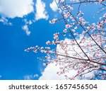 Blue Sky And Cherry Blossoms.