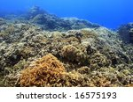 Small photo of field of Thin leaf lettuce coral (agaricia tenuifolia)