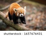 Red Panda Walking On The Tree