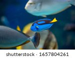 Blue Tang Swimming In An...