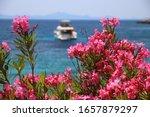 Oleander Flowers In Croatia....