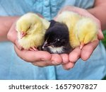 Small Chickens In The Hands.