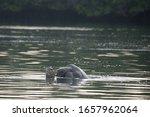 Mating Sea Turtles  Caleta...