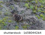 Pine Cone In The Sand. Dry Cone ...