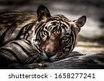 Ranthambore Wild Male Tiger...