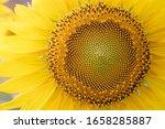 Sunflower Field Sunflower...