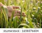 Beautiful Green Wheat Barley...