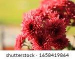 Beautiful Red Dahlia Flowers O...