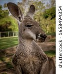Portrait Of A Kangaroo In...