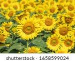 Many Bright Yellow Big...
