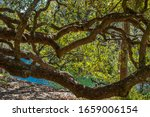 Live Oak Trees Stretching Over...