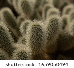 A Cholla Cactus In The Arizona...