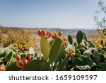 Prickly Pear Cactus With Fruits ...
