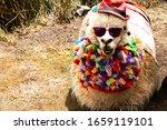 Llama with dark shades in peru  ...