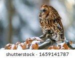Little Owl  Strix Aluco ...