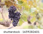 Bunch Of Ripe Red Grapes...