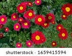 Tanacetum Coccineum  Formerly...