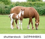 Small photo of A beautiful chestnut mare with her skewbald foal stand in a paddock