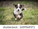 Small photo of adorable portrait of sweet healthy and happy welsh corgi cardigan puppy litter in the garden