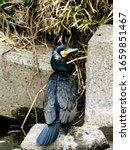 A Black Japanese Cormorant ...