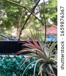 Small photo of Air plants or tillandsia in a garden. They known as airplants because of their natural propensity to cling wherever conditions permit: telephone wires, tree branches, barks, bare rocks, are soilless.