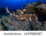 Japanese Horned Bullhead Shark Sleeping on Reefs Underwater in Chiba, Japan