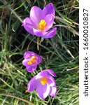 Small photo of Beautiful violet crocus among in spring. Magnificent view of formation. Beautiful lightful shiny spring breeze flower plants growing crocus bright yellow orange purple