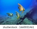 Beautiful Bat Fish In...