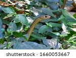 Rat Snakes Are Members Along...