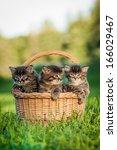 Three Tabby Kittens Sitting In...