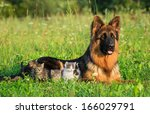 Stock photo german shepherd dog with little kittens 166029791