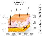 human skin layer. cross section | Shutterstock . vector #166036145