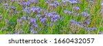 Blue Flower Of Lacy Phacelia...