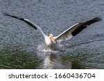 American White Pelican  With...