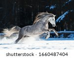 Grey Horse Gallops On Snow