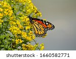A Monarch Butterfly Gathers...