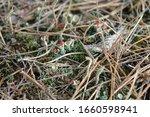 Close Up Of The Silver Lichen...