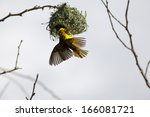 Spotted Backed Weaver Building...